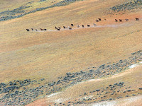 Mustang Herd, McCullough Peaks, Wyoming  © Bruce Gordon/EcoFlight